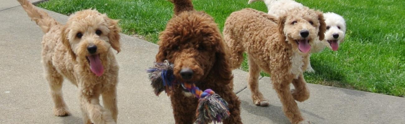Goldendoodle Breeder & Puppies For Sale | Hilltop Pups LLC