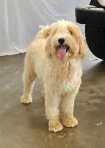 Liberty  F1b English Teddy Bear Goldendoodle  Daughter of Polly & Noah