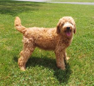 Reba  F2b English Teddy Bear Goldendoodle