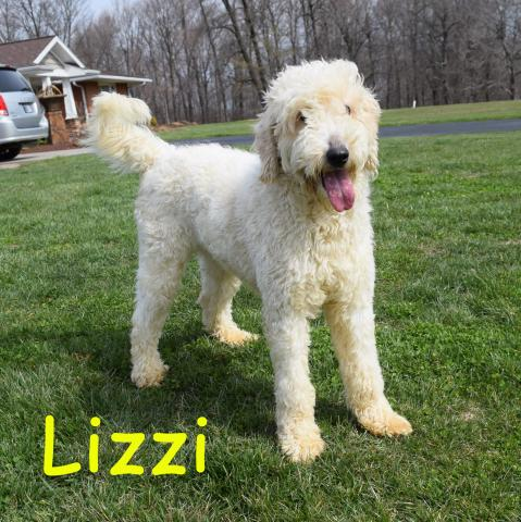 Lizzi is 4th Generation Goldendoodle
