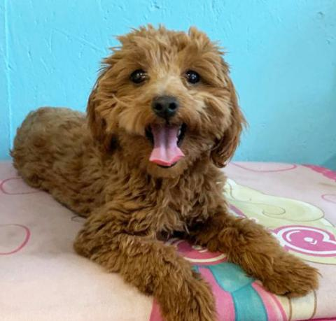 Multi Gen Micro Petite English Teddy Bear Goldendoodle